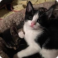 Adopt A Pet :: Marigold - Denver, CO