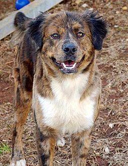 Australian Shepherd/Great Pyrenees Mix Dog for adoption in Sarasota, Florida - Kennedy