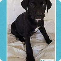 Adopt A Pet :: Luke pending adoption - East Hartford, CT