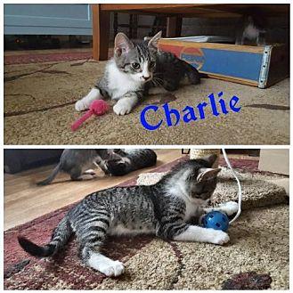 Domestic Mediumhair Kitten for adoption in Crestview, Florida - Charlie