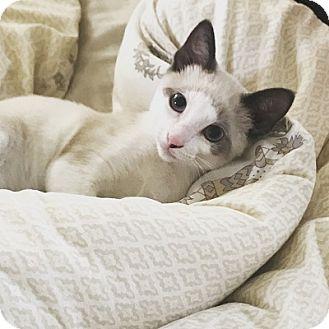 Siamese Kitten for adoption in Burbank, California - Beloved