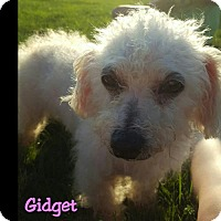 Adopt A Pet :: Gidget - Adoption pending - Poland, IN