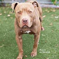 Adopt A Pet :: BACON - Los Angeles, CA