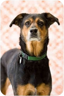 German Shepherd Dog/Australian Shepherd Mix Dog for adoption in Portland, Oregon - Beatrice