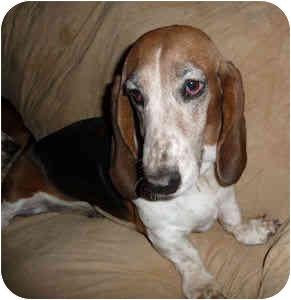 Basset Hound Dog for adoption in Phoenix, Arizona - Angelica