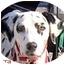 Photo 1 - Dalmatian Dog for adoption in Mandeville Canyon, California - Sierra
