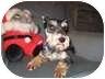 Schnauzer (Miniature) Dog for adoption in North Benton, Ohio - Bentley