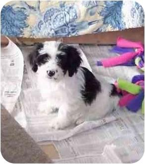 Cockapoo/Lhasa Apso Mix Puppy for adoption in McArthur, Ohio - STANLEY