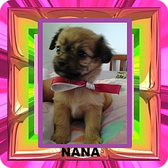 Chihuahua/Terrier (Unknown Type, Small) Mix Puppy for adoption in San Diego, California - Nana