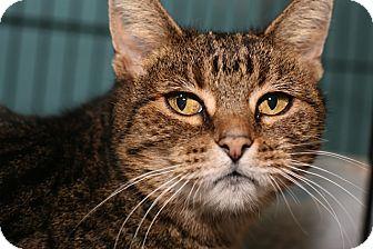 Domestic Shorthair Cat for adoption in Coronado, California - Louise