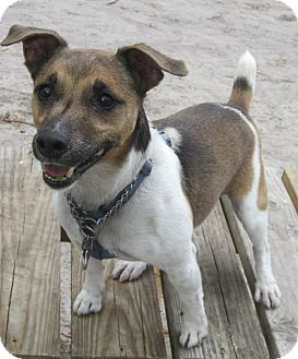 Jack Russell Terrier Mix Dog for adoption in Forked River, New Jersey - Danny
