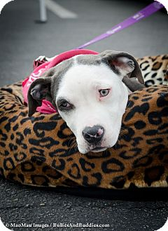American Pit Bull Terrier Mix Puppy for adoption in Redondo Beach, California - Violet