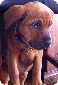 Labrador Retriever/St. Bernard Mix Puppy for adoption in Baltimore, Maryland - Callie