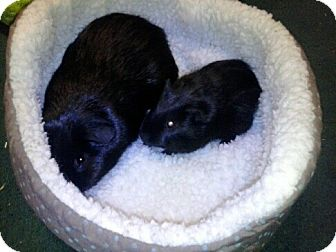 Guinea Pig for adoption in Fullerton, California - Hugo and Ralph (OCCH pigs)