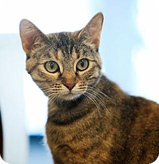 Domestic Shorthair Cat for adoption in Hawthorne, California - Sydney