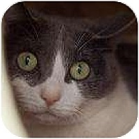 Domestic Shorthair Cat for adoption in Denver, Colorado - Guthrie