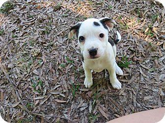 Boston Terrier Mix Puppy for adoption in Morrilton, Arkansas - Demi