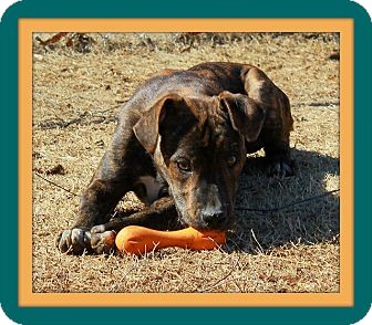 Bulldog/Labrador Retriever Mix Dog for adoption in Hagerstown, Maryland - Tito