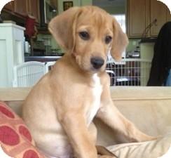 Beagle Mix Puppy for adoption in Richmond, Virginia - Bert
