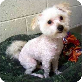 Maltese/Poodle (Toy or Tea Cup) Mix Dog for adoption in Los Angeles, California - VITO