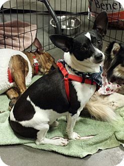 Rat Terrier Mix Dog for adoption in Alexis, North Carolina - Sam