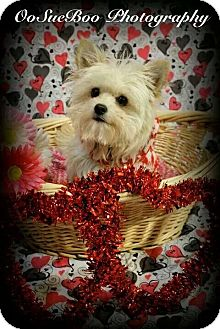 Maltese Mix Dog for adoption in Detroit, Michigan - Frisky