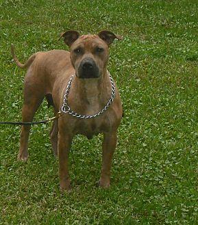 Labrador Retriever Mix Dog for adoption in Orlando, Florida - SKITTLES