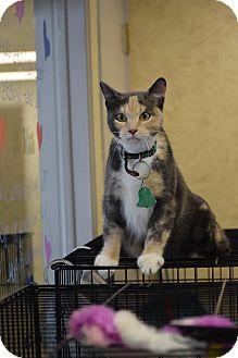American Shorthair Cat for adoption in Lebanon, Missouri - Jewels