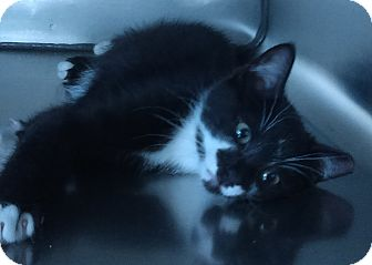 Domestic Shorthair Kitten for adoption in Kirby, Texas - Boo Berry