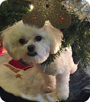 Maltese Dog for adoption in Bridgeton, Missouri - Duffy-Adoption pending
