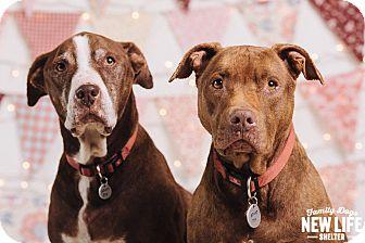Pit Bull Terrier Mix Dog for adoption in Portland, Oregon - Grandma Callie & Grandpa Scrap