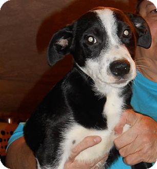 Border Collie Mix Puppy for adoption in Seahurst, Washington - Nathan
