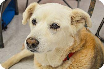 Labrador Retriever Mix Dog for adoption in Evergreen, Colorado - Sundance
