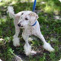 Adopt A Pet :: Pooh - Jupiter, FL