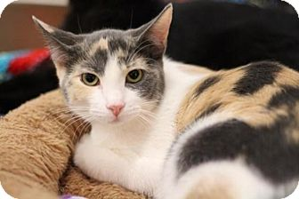 Calico Kitten for adoption in Sacramento, California - Peach
