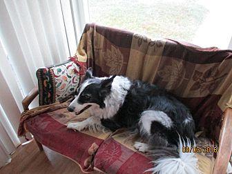 Border Collie Dog for adoption in San Pedro, California - OAKLEY