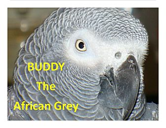 African Grey for adoption in Vancouver, Washington - Buddy the African Grey $550.00