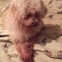 Poodle (Miniature) Dog for adoption in Ceres, Virginia - Dixie