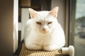 Domestic Shorthair/Domestic Shorthair Mix Cat for adoption in Chicago, Illinois - Abbie