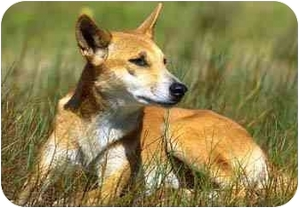 Labrador Retriever Mix Dog for adoption in Plainfield, Illinois - Piper