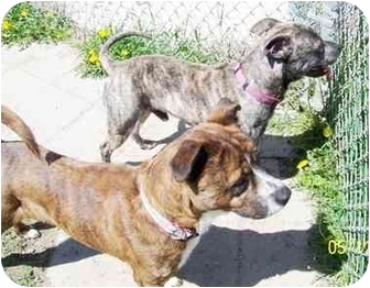 Pit Bull Terrier/Border Collie Mix Dog for adoption in Lake Odessa, Michigan - Meadow