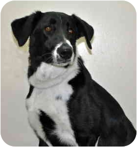 Border Collie Mix Dog for adoption in Port Washington, New York - Misty