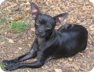 Chihuahua Mix Dog for adoption in Salem, Oregon - Ali
