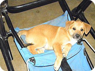 Australian Shepherd/Shepherd (Unknown Type) Mix Puppy for adoption in York, South Carolina - Boss