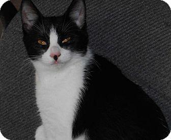 Domestic Shorthair Kitten for adoption in Richmond, Virginia - Jude