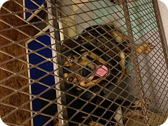 Leonberger/German Shepherd Dog Mix Dog for adoption in North Pole, Alaska - Roxie