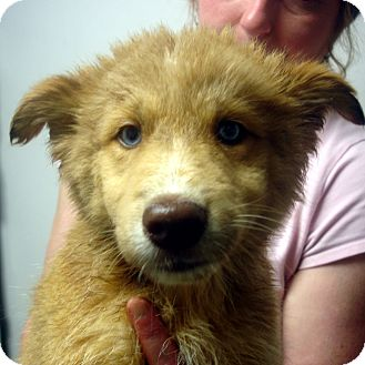Husky/Collie Mix Puppy for adoption in Greencastle, North Carolina - Domino