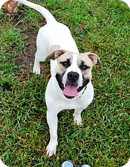 American Staffordshire Terrier Mix Dog for adoption in Indianola, Iowa - Scooter