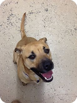 Pit Bull Terrier/Shepherd (Unknown Type) Mix Dog for adoption in Douglas, Wyoming - ACE