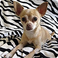 Adopt A Pet :: Bella - Toronto, ON